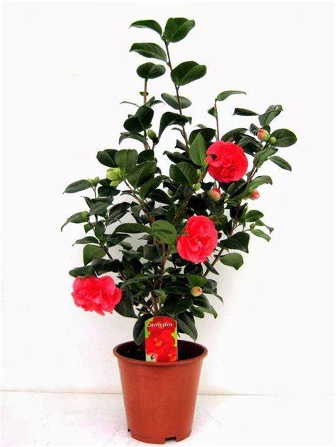 camellia japonica en pot bol japanse rozen tuin en balkonplant japanse roos camellia japonica hoogte 75cm po