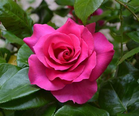 Kostenlose Foto  Blume, Blütenblatt, Garten, Rote Rose