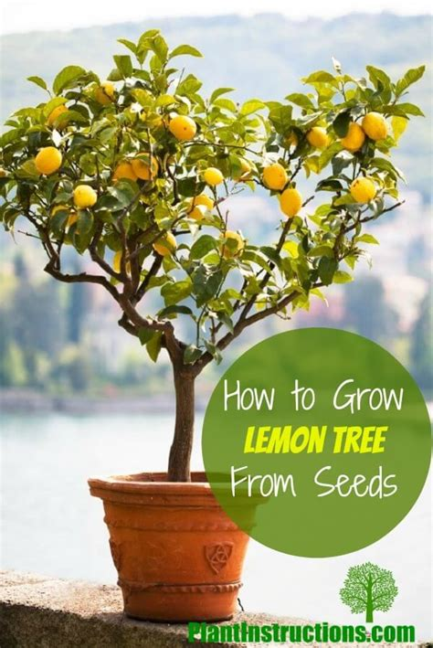 how to grow a lemon tree from seeds in a pot plant