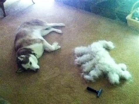 Does Malamute Shed Fur by Husky Shed