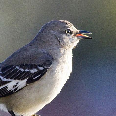 mockingbird singing at sunrise flickr photo sharing
