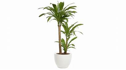 Common Plants Air Absorb Low Dracaena Houseplants