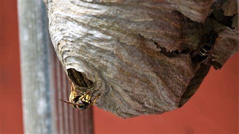 wespen im winter was machen wespen im winter sterben oder winterschlaf