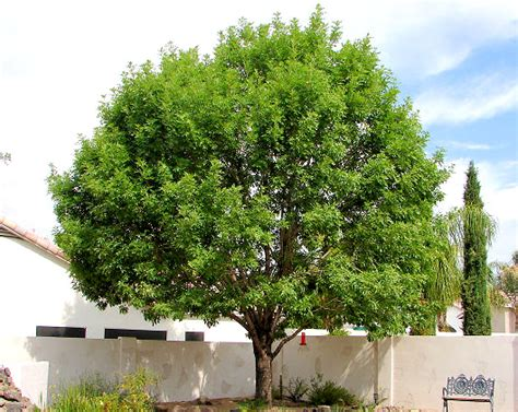 small shade trees large evergreen shade trees pictures to pin on pinterest pinsdaddy