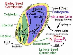 Germination Of Seeds