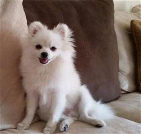 white pomeranian   white pomeranian puppies  dogs