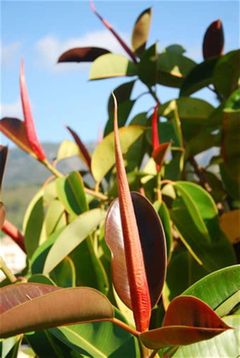 gummibaum im freien gummibaum ficus elastica pflege anleitung