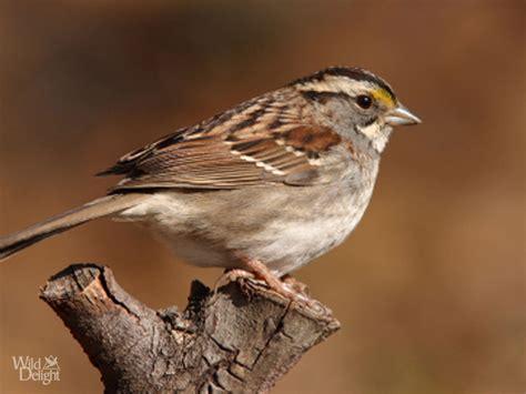 white throated sparrow wild delightwild delight