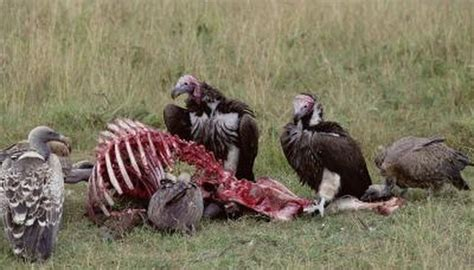 vultures   sense  smell animals momme