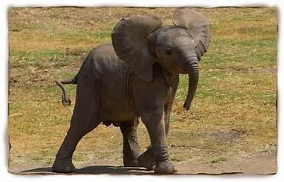 Animals Elephant African Zoo Diego San Endangered