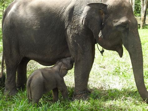 elephant cuisine saving sumatran elephants food appeal chuffed non