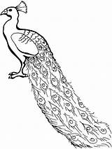 Peacock Coloring Drawing Cartoon Congo Peafowl African Line Clip Outline Clipart Lovely Adults Colouring Cliparts Painting Bird Animals Getdrawings Printable sketch template