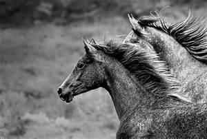 Schwarz Weiß Bilder Tiere : junghengste vollblutaraber tiere view fotocommunity ~ Markanthonyermac.com Haus und Dekorationen