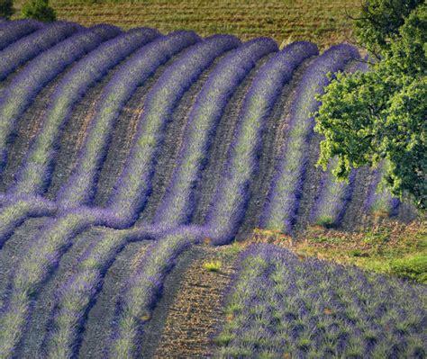 Lavender Valensole Bing Wallpaper Download