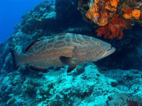 grouper scrawled teeth aluterus scriptus filefish bonaci mycteroperca