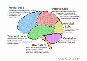 The Human Brain (Diagram) (Worksheet) | Therapist Aid