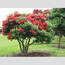 New Zealand Christmas Trees Ordinarygoodness