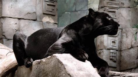 Panther Animal Wallpaper - panther hd wallpapers