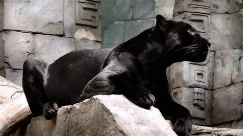 black panther animal wallpapers wallpaper cave