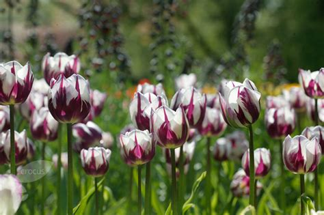 buy triumph tulip bulbs tulipa rems favourite delivery