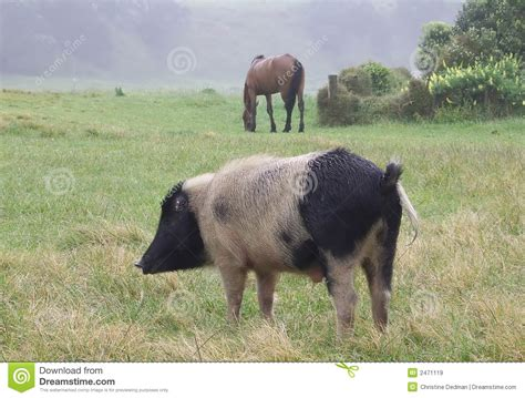 pig horse royalty grazing dreamstime