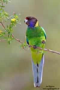 Australian Ringneck Bird