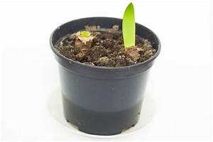 Amaryllis In Wachs Selber Machen : amaryllis selber ziehen so wird 39 s gemacht ritterstern ~ Orissabook.com Haus und Dekorationen