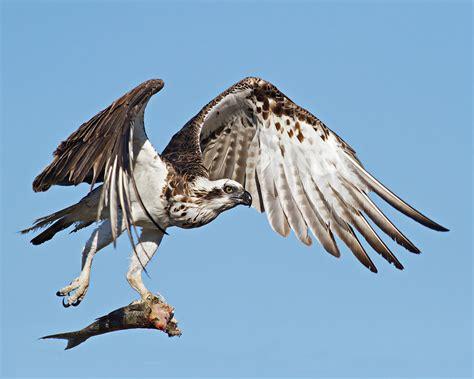 raptor bird raptors and birds of prey in nh girard at large
