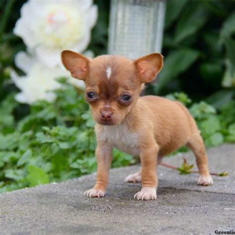 Chiweenie Puppies For Sale  Chiweenie Breed Info