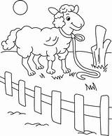 Fence Coloring Behind Sheep Sheet sketch template