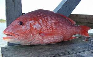 Gulf Anglers, Fishery Managers Clash Over Red Snapper ...