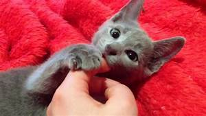 Russian Blue Kitten/ Cat- SOOO CUTE! Check it out - YouTube