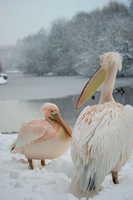 Pink Pelican Bird