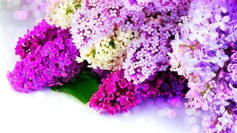 hd hintergrundbilder flieder lila weiss funkelnde desktop