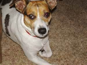 smooth fox terrier chihuahua mix dog breeds picture