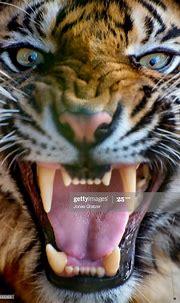 News Photo : Wild Sumatran tigers are often in danger ...