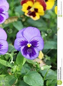 Blue Pansy Or Viola Flower. Stock Photography - Image ...