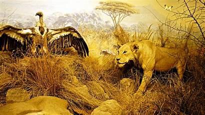 Lion Safari Desktop African Wallpapers Hunting Zoo