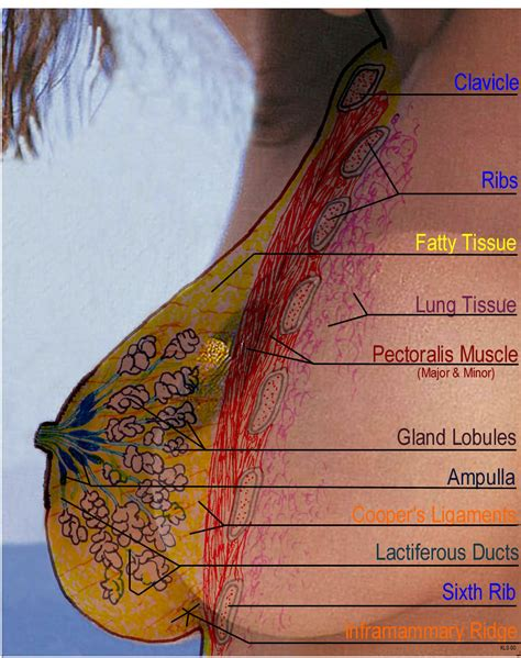 1/2 medial of the anterior border of the clavicle, anterior face of the sternum, external face of. Inside of the Breast
