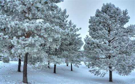 snowy trees wallpaper 1348768