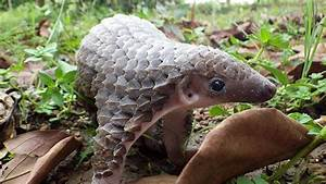 In Mandarin, the Chinese pangolin's name 'Ling-Li' means ...