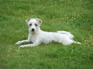 does she have hair this is a maltese greyhound mix