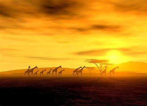 Jungle Wallpaper Animal Crossing - safari giraffes crossing wallpaper murals by homewallmurals
