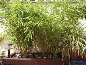 der exotische bambus auf der terrasse garten ratgeber net garten tipps f 252 r hobbyg 228 rtner
