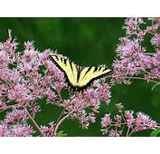 15 Flowers That Attract Butterflies  Nature BabaMail