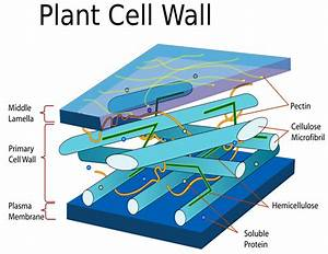 Plant cell wall diagram - /plants/diagrams/Plant_cell_wall ...