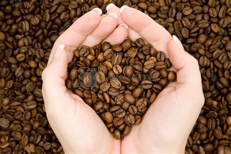 These free images are pixel perfect to fit your design and available in both png and vector. Harvesting Coffee Beans Royalty Free Stock Image | Stock Photos, Royalty Free Images, Vectors ...