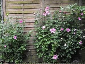 Hibiskus Wann Zurückschneiden : b ume str ucher und kletterpflanzen wann hibiskus ~ Lizthompson.info Haus und Dekorationen