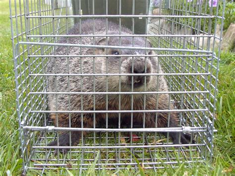 wildlife photograph a groundhog caught in a cage trap