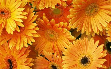 orange flowers hd desktop backgrounds